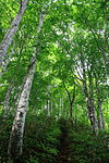 Fagus crenata in Mount Daimon 2011-06-19.jpg
