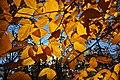 Fagus grandifolia fall foliage Wachusett Meadow.jpg