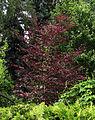 Fagus sylvatica 'Purpurea Tricolor' Syrets1.JPG