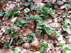 Fagus sylvatica seedling siemianice beentree.jpg