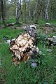 Fallen tree in Sherwood Forest Country Park - geograph.org.uk - 1334875.jpg