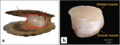 Fast and slow adductor muscles of the Yesso scallop, Patinopecten yessoensis.webp