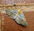 Feathered Thorn. Colotois pennaria. Geometridae. Ennominae - Flickr - gailhampshire (1).jpg