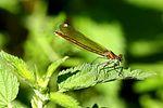 Female Banded Demoiselle - Stanborough Lakes (7278091064).jpg
