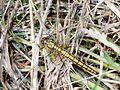Female Black-Tailed Skimmer Dragonfly Orthetrum cancellatum GT.jpg