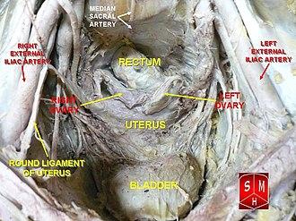 Pelvic cavity - Image: Female pelvic cavity