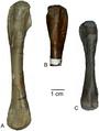 Femora of Eosauropterygia.png