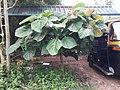 Ficus auriculata 1z .jpg