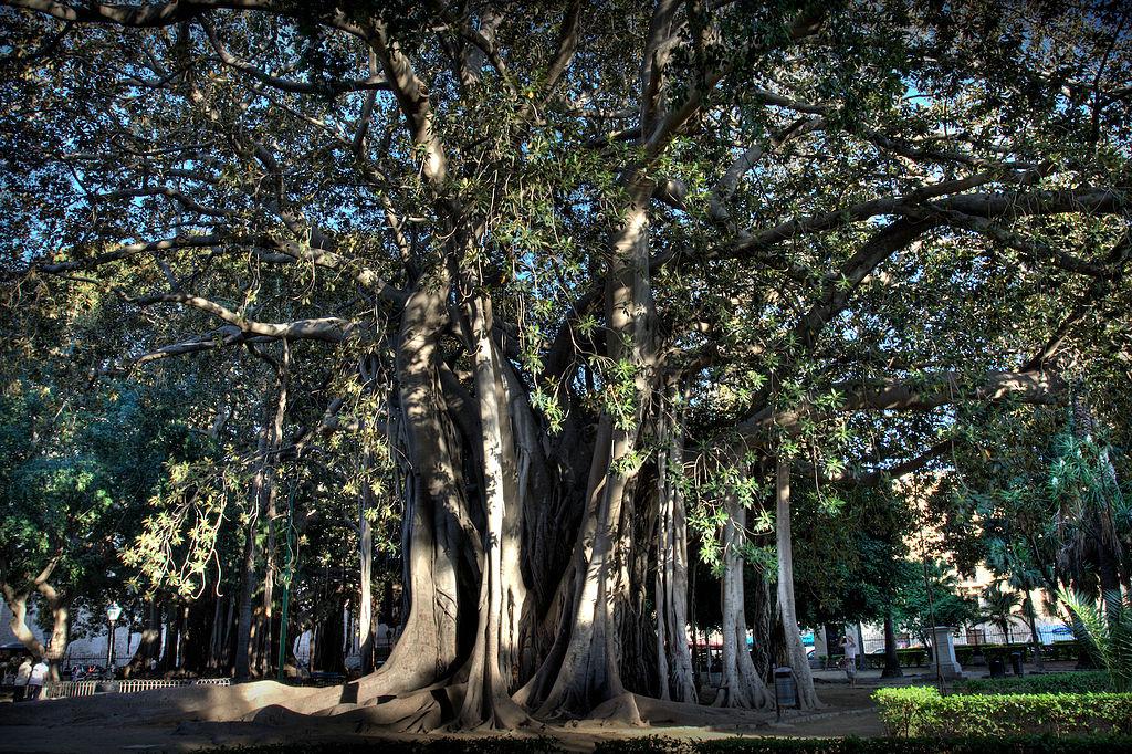Ficus macrophylla au jardin Garibaldi (Piazza Marina) à Palerme. Photo de Carlocolumba