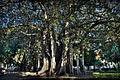 Ficus pzza marina-65 2 4-Edit.jpg