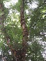 Ficus racemosa fruits at Peravoor (4).jpg