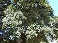 Ficus rubiginosa, lower, b, Pretoria.jpg