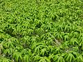 Field of Mayapples - Flickr - pellaea.jpg