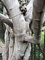 Fig tree in Bunhill Fields - geograph.org.uk - 776180.jpg