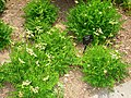 Filipendula vulgaris - Tower Hill Botanic Garden.JPG