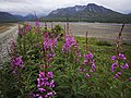 Fireweed lines the park road before Eielson Visitor Center on July 19, 2019. (468f54b3-153a-4afb-ad09-30081cd64efe).JPG