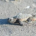 First steps of hatchling of loggerhead sea turtle (Caretta caretta) running to sea - 03.jpg