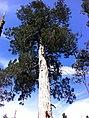 Fitzroya cupressoides, Lahuen Ñadi.jpg