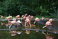 Flamingo Berlin Zoo.JPG