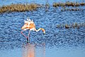 Flamingo fluffing its feathers (40463380662).jpg