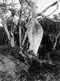 Flaskträd, Chorisia insignis, i torrskog. Mellan Caiza och fort Crevaux. Sydamerika, Crevaux, Gaiza - SMVK - 003893.tif
