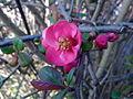 """Fleur de """"pommier à vinaigre"""" à Grez-Doiceau 003.jpg"""