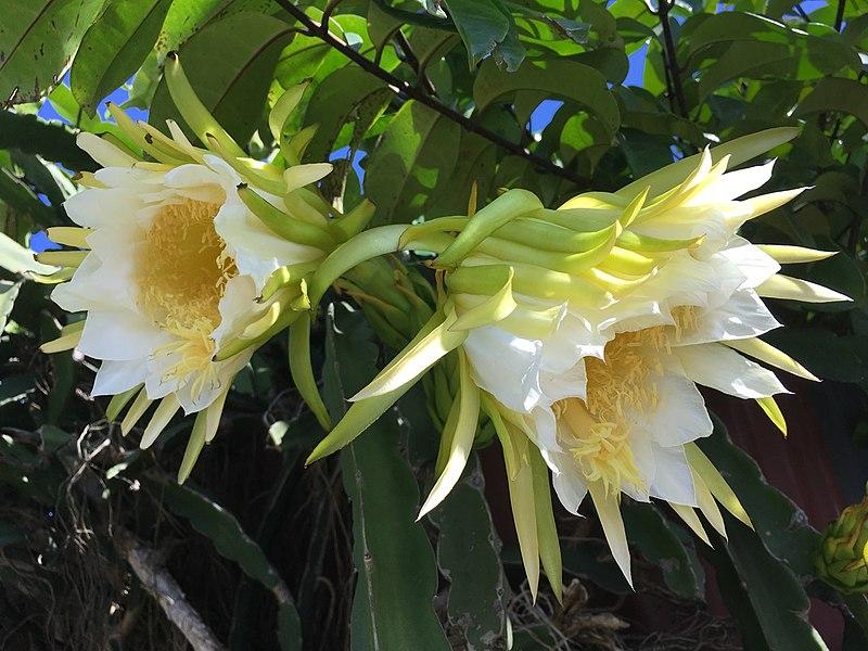 File:Fleur de pitaya2.jpg
