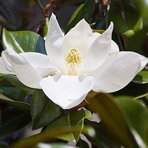 Magnolien (Magnolia grandiflora)