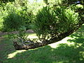 Flickr - brewbooks - Araucaria cuninghamii Hoop Pine (1).jpg