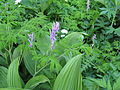 Flickr - brewbooks - Corydalis and Corn Lily (2).jpg