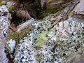 Flickr - brewbooks - Lichen on Kauri root (4).jpg