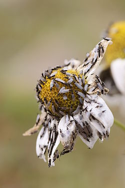 Flies on Leucanthemum vulgare.JPG