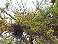 Flora del Cerro del Muerto, Aguascalientes 13.JPG