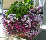 Floral arrangement of petunias in Columbus, Ohio.JPG