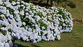 Flores azuis lindas.jpg