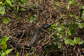 Florida Green Water Snake.jpg