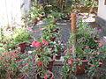Flower gardenn irvin calicut.JPG