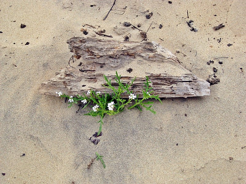 File:Flowerpower against sand and old wood... - panoramio.jpg