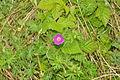 Flowers in Oxwich Burrows (5206).jpg
