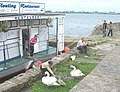 Fluffy, the cygnet, finally plucks up courage - geograph.org.uk - 909606.jpg