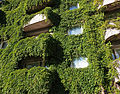 Foliage on building wall.jpg