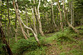 Forest in Mt.Fuji 04.jpg