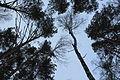 Forest near Akademgorodok XXV.JPG