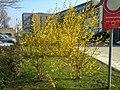 Forsythia, Technologiepark 11.3.14 - panoramio.jpg
