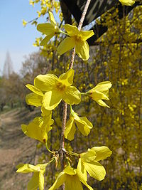 Forsythia suspensa4