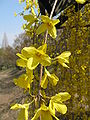 Forsythia suspensa4.jpg