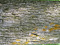 Fraxinus nigra bark 1-jgreenlee (5097477515).jpg