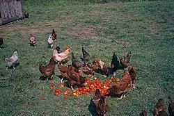 Ayam kampung (Gallus domesticus) sedang diberi makan di tanah terbuka