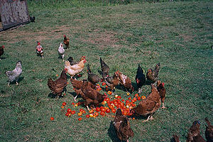 Free range - A small flock of mixed free-range chickens being fed outdoors