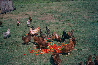Poultry farming - Free range chickens being fed outdoors